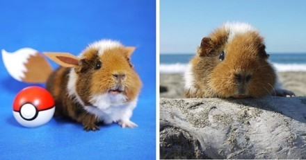 Fuzzberta, le cochon d'inde le plus stylé d'Instagram !