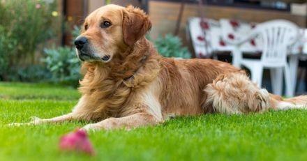 Le Golden a les épaules qui se raidissent : quand sa propriétaire voit ce qu'il a en bouche, elle pousse un cri !