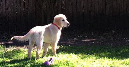 Visite chez un éleveur de Golden Retriever : un détail sur un des chiens est un électrochoc