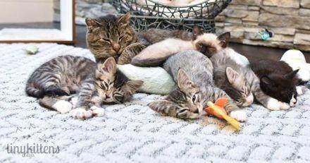 De chat sauvage à maman de substitution pour des chatons : l'incroyable histoire de Grandpa Mason (Vidéo)