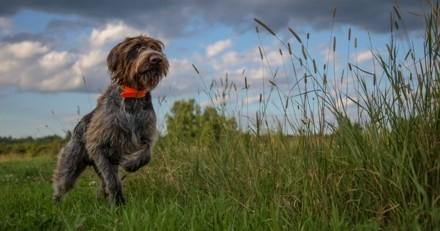 Qui a tué les six chiens de chasse dont on a retrouvé les cadavres dans un charnier ?