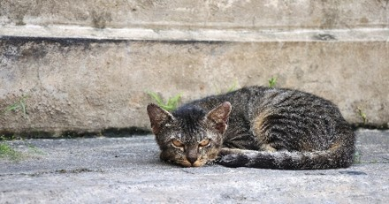 Une forme de grippe aviaire transmise du chat à l'Homme observée pour la première fois