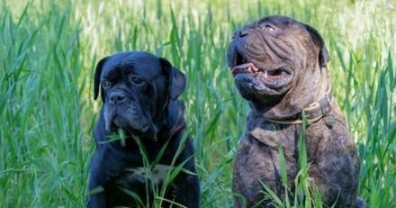 Amstaff, Tosa, Rottweiler... : une journée pour dire NON au délit de sale gueule !