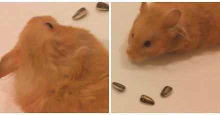 Ce Hamster fait un cœur en graines pour la Saint-Valentin, mais regardez bien de plus près... (Vidéo)