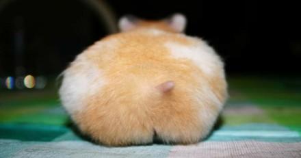 10 adorables fesses de hamsters qui vont vous rendre fous !