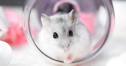 Pour se venger de son ex, il noie son hamster dans le bocal du poisson rouge