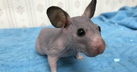Abandonné, ce hamster sans poils est désormais bien au chaud grâce à son pull sur mesure