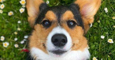 Elle range des restes à l'abri de ses chiens : quand elle voit ce qu'a fait son Corgi, elle ne peut s'empêcher de rire ! (Vidéo)