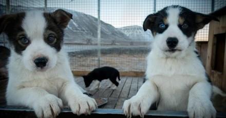 Un couple démissionne, adopte deux chiots Husky et vit le rêve de toute une vie !