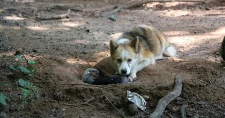 Enchaînée, cette chienne a fait l'impensable pour sauver ses chiots