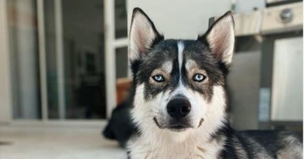 Ce Husky a trouvé un endroit inattendu pour se réfugier à chaque fois qu'il fait une bêtise (Vidéo)