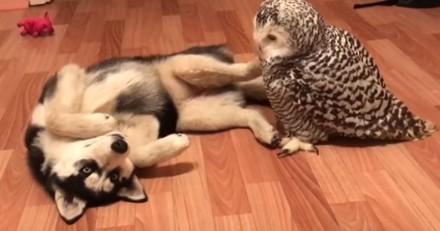 Ce Husky traîne avec une chouette, et visiblement c'est tout à fait normal (Vidéo du jour)