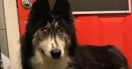 Il abandonne son Husky à cause de son regard : il va vite comprendre qu'il a fait une erreur