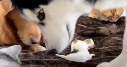 Un Husky et 2 Golden Retriever s'approchent des chatons : tout le monde retient son souffle (Vidéo)