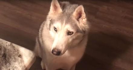 Ce Husky pleure et gémit pour obtenir des friandises ! (Vidéo)
