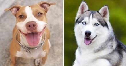 Un Pitbull et un Husky se reproduisent : leurs bébés font paniquer tout le monde !