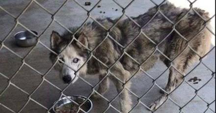 Elle voit la photo d'un Husky malade et comprend quelque chose de très important