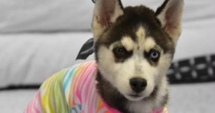 Ce tout petit Husky a une très bonne raison de porter des vêtements ...