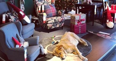 Un IKEA en Italie ouvre ses portes aux chiens errants