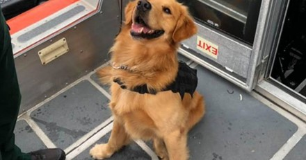 Ce chien policier a fait une overdose en sentant de la drogue