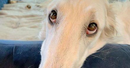 Cette Barzoï a une particularité qui attire tous les regards : son nez est plus long que le corps d'un Chihuahua !