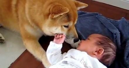 Le chien rencontre le bébé pour la première fois et le boude, ce que fait le bébé émeut tout le monde (vidéo)