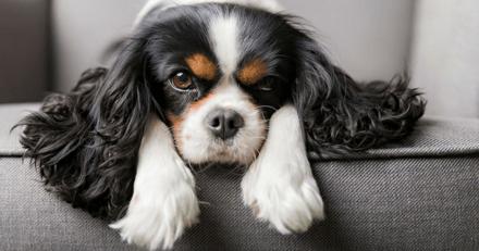 Cavalier King Charles : tout savoir sur cette race de chien