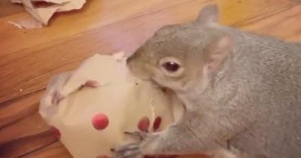 Devenu orphelin alors qu'il n'était qu'un bébé, cet écureuil reçoit un cadeau qui va tout changer (vidéo)