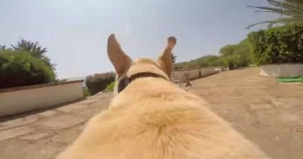 Il détache son Labrador qui se met à courir comme un dingue et… (Vidéo)