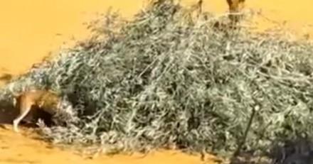 Un spectacle cruel ! Ils lâchent des chiens dans une arène pour dévorer des lapins (Vidéo)
