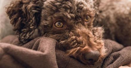 Top 20 des races de chiens les plus rares du monde