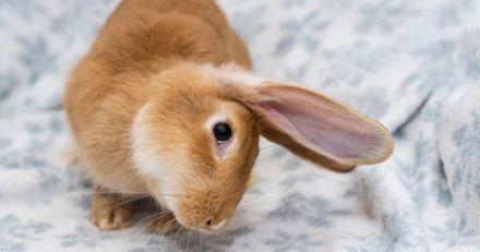Mon lapin a la tête penchée : pourquoi et quoi faire ?