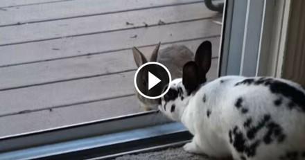 A travers une vitre, une lapine domestique et un lapin sauvage sont tombés amoureux