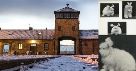 Des lapins angoras étaient élevés pour leur laine dans les camps de concentration nazis