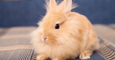 Quel est ce virus mortel et foudroyant qui tue les lapins domestiques ?