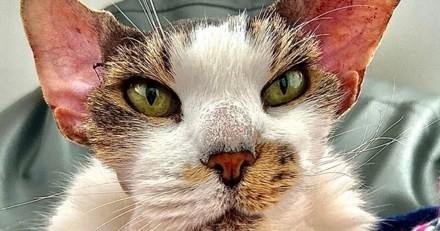 Défiguré, ce chat a eu droit à de la chirurgie esthétique et sa métamorphose est impressionnante !