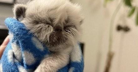 Ce chaton qui a une tête de 'grand-père' est bien décidé à se battre pour sa vie
