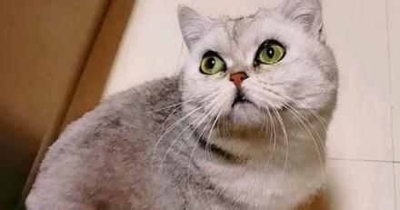 Le British Shorthair survit 40 jours seul dans un appartement : ses humains rentrent et ont une énorme surprise