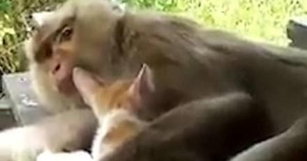 Incroyable ! Ce singe a adopté un chaton errant (Vidéo)