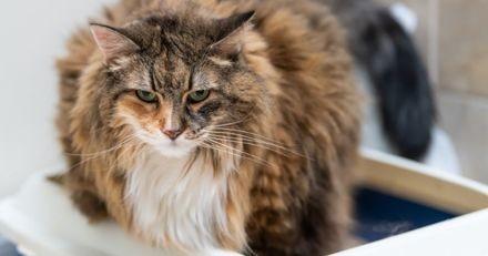 Mon chat a une cystite : causes, symptômes et traitement