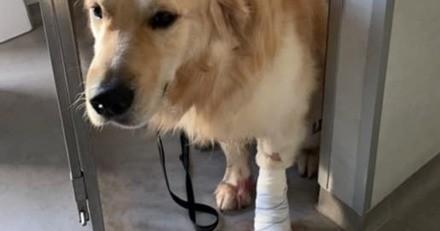 Pendant sa balade quotidienne, ce chien est grièvement blessé par un bus, ses maîtres font un choix fort
