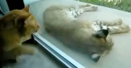 Le chat réveille un lynx endormi : la réaction du félin est hilarante (VIDEO)