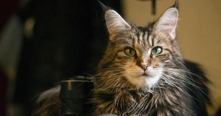 Top 20 des races de chats préférées des Français en 2020 : découvrez le classement !