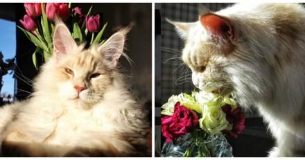 Elle partage des photos incroyables de son chat Maine Coon et il est juste immense (Photos)