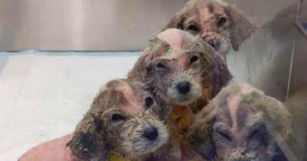 Le refuge accueille 6 minuscules chiens mais les familles d'accueil réalisent vite qu'il y a un gros problème