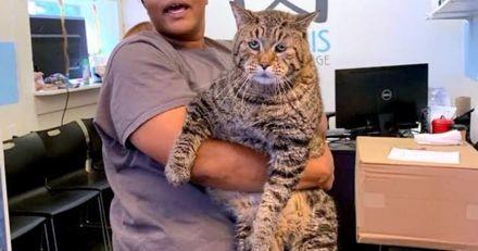 Ce chat XXL aux yeux tristes cherche une nouvelle famille pour la vie