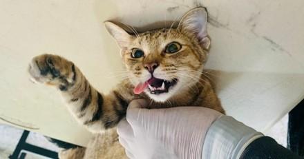 Le chat doit être stérilisé, mais chez le vétérinaire il révèle son plus triste secret !