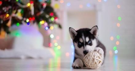 Occlusion intestinale : ces petites choses qui peuvent tuer votre chien à Noël