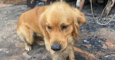 Maison détruite par les incendies : leur chien fouille les décombres, ce qu'il trouve fait pleurer tout le monde