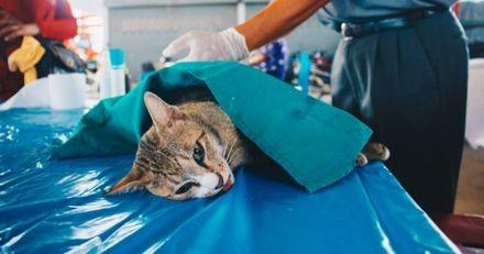 Des chirurgiens sauvent la vie d'un chat en lui faisant la toute première greffe de rein en France !